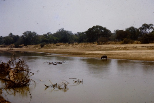 Hippo in the Luangwa River – Dry season -1964