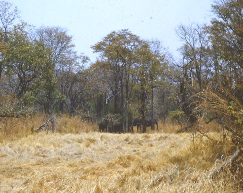 Elephant near the Luangwa – Mobile Unit patrol -dry season 1964